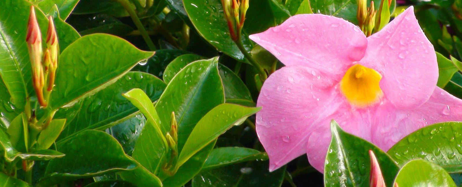 flor-de-dipladenia