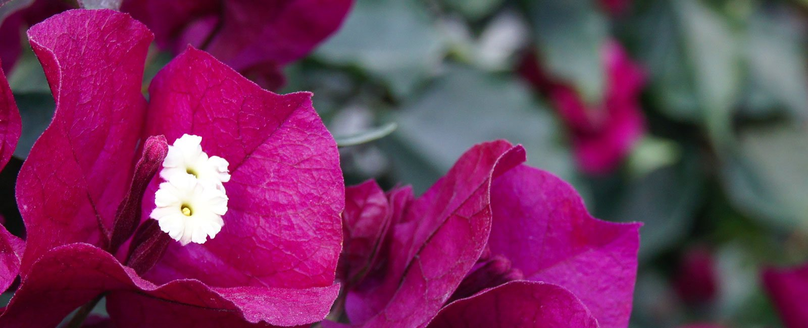 flores-de-bougainvillea