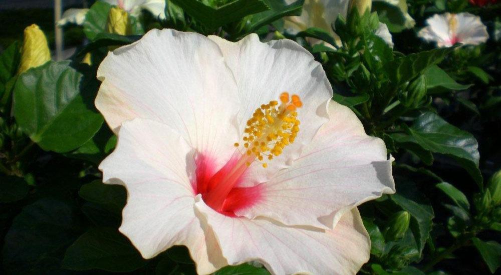 Flores de Hibiscus rosa-sinensis